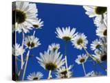 Oxeye Daisy Flowers  Cornwall  UK
