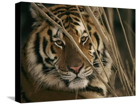 roy-toft-a-captive-tiger-shows-a-formidable-expression