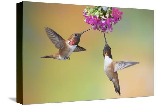 rufous-hummingbird-two-males-feeding-at-flower