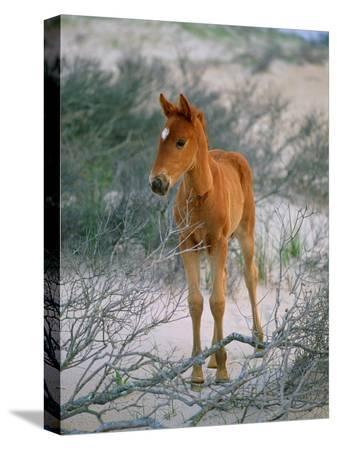 scott-sroka-a-wild-pony-on-the-beach-at-chincoteague-island