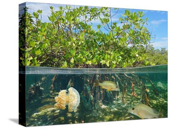 seaphotoart-mangrove-above-and-below-water-surface-half-and-half-caribbean-sea