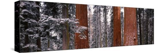 sequoia-trees-sequoia-national-park-ca-usa