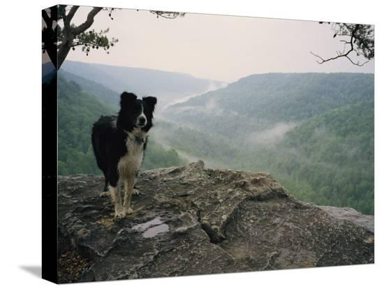 stephen-alvarez-a-border-collie-stands-on-the-bluff-at-ravens-point-tennessee