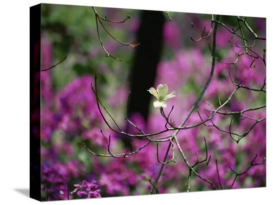 stephen-st-john-a-single-dogwood-blossom-is-seen-against-a-colorful-background