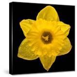 This Yellow Daffodil