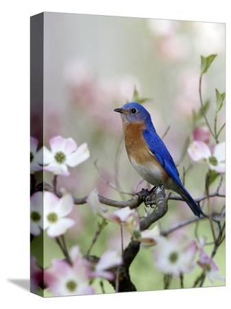 steve-maslowski-male-eastern-bluebird-in-flowering-dogwood-tree-sialia-sialis-north-america-missouri-state-bird