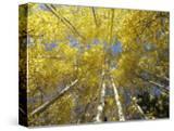Fall-Colored Aspen Trees  Stevens Pass  Washington  USA