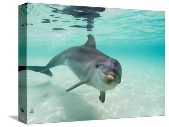 stuart-westmorland-bottlenose-dolphin