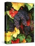 View of Pinot Noir Grape  Willamette Valley  Oregon  USA