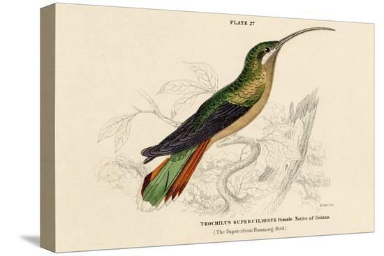 supercilious-hummingbird