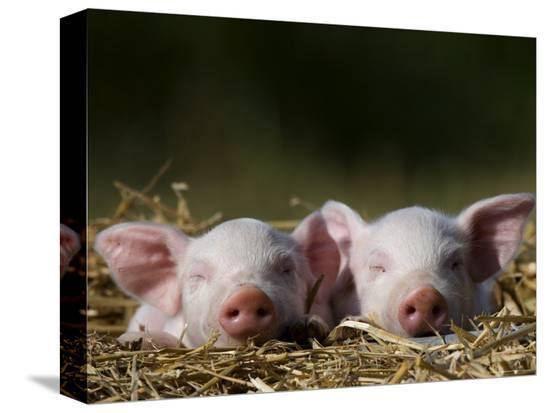 thorsten-milse-domestic-pig-huellhorst-germany