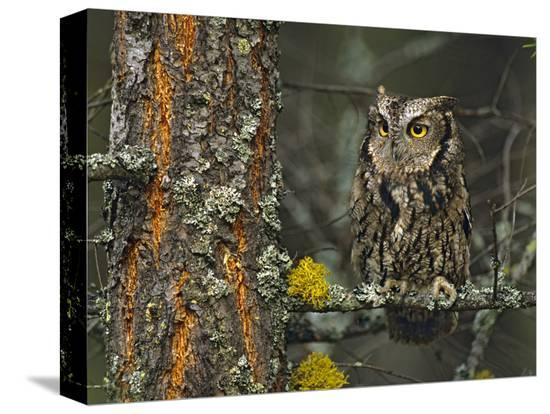 tim-fitzharris-western-screech-owl-hanging-out-in-a-tree-british-columbia-canada