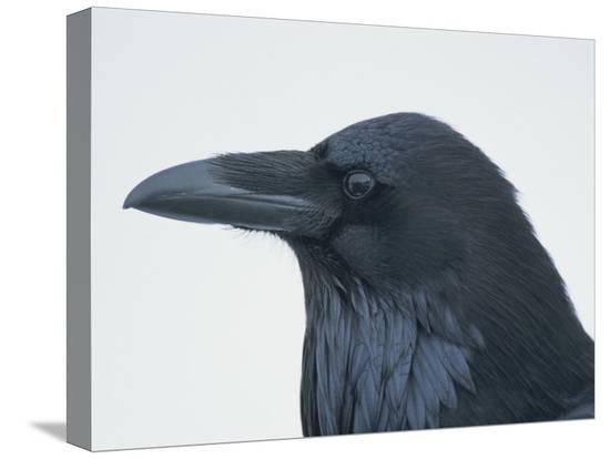 tom-murphy-a-close-view-of-the-head-of-a-raven-corvus-species