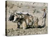 Yak-Drawn Plough in Barley Field High on Tibetan Plateau  Tibet  China