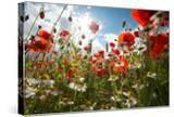 A Large Field of Poppies and Daisies Near Newark in Nottinghamshire  England Uk
