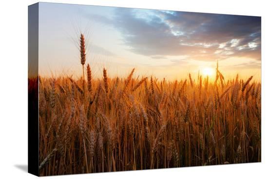 ttstudio-wheat-field-over-sunset