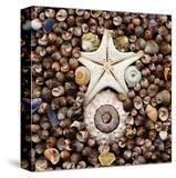 Urchin Star Sea Shells