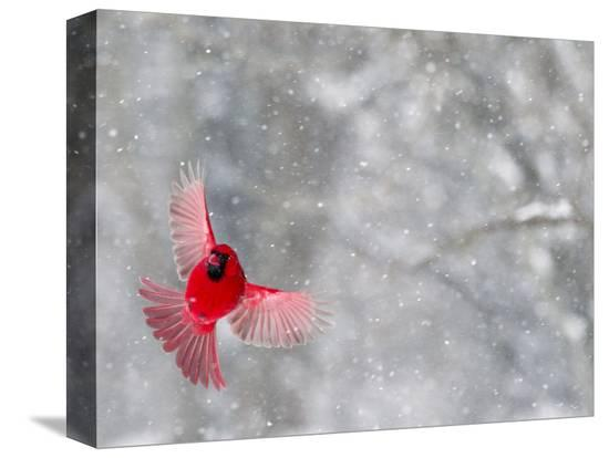wendy-kaveney-male-cardinal-with-wings-spread-indianapolis-indiana-usa