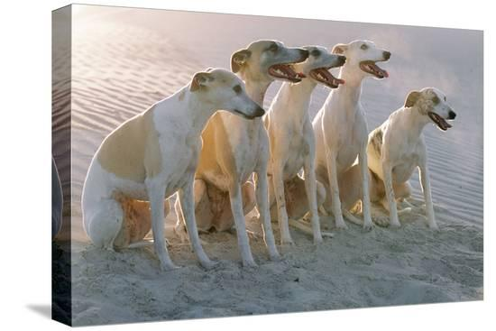 whippets-group-of-sandy-beach