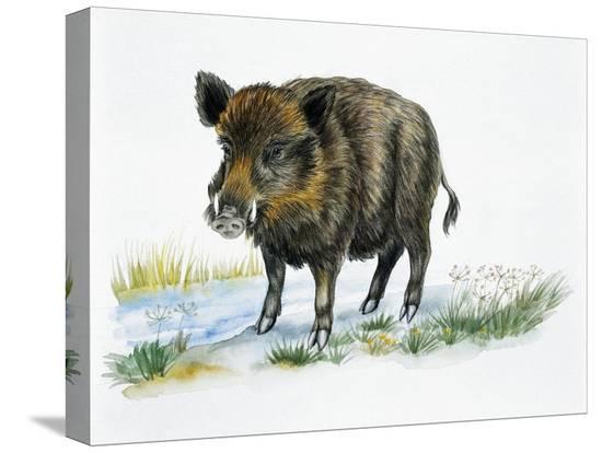 wild-boar-sus-scrofa-suidae-drawing