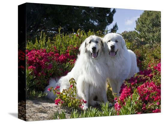zandria-muench-beraldo-two-great-pyrenees-together-among-red-flowers-california-usa