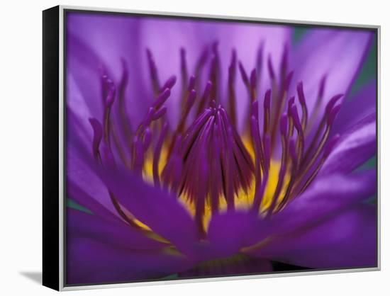 Purple and Yellow Lotus Flower, Bangkok, Thailand-John & Lisa Merrill-Framed Canvas Print