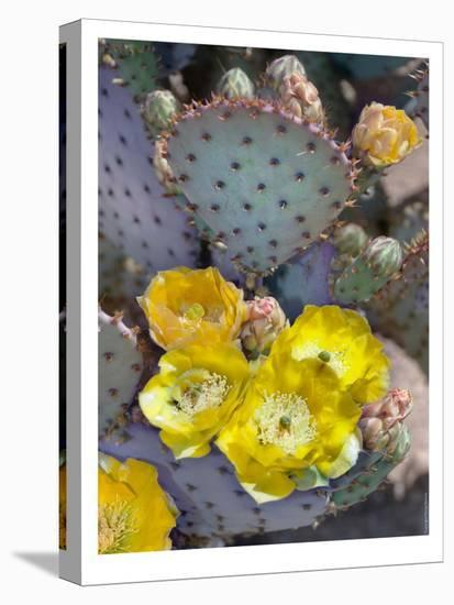 Purple Prickly Pear Cactus Blossoms-Murray Bolesta-Stretched Canvas Print