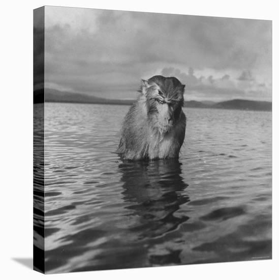 Rhesus Monkey Sitting in Water Up to His Chest-Hansel Mieth-Stretched Canvas Print