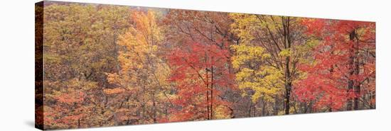Roaring Fork Fall Color Tree 1-Danny Burk-Stretched Canvas Print