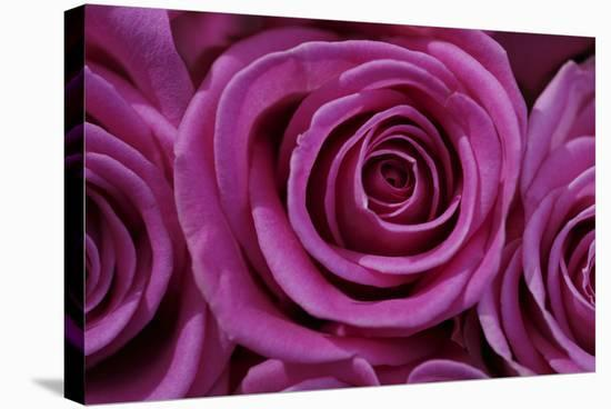 Rose Blossom, Rose-Sweet Ink-Stretched Canvas Print