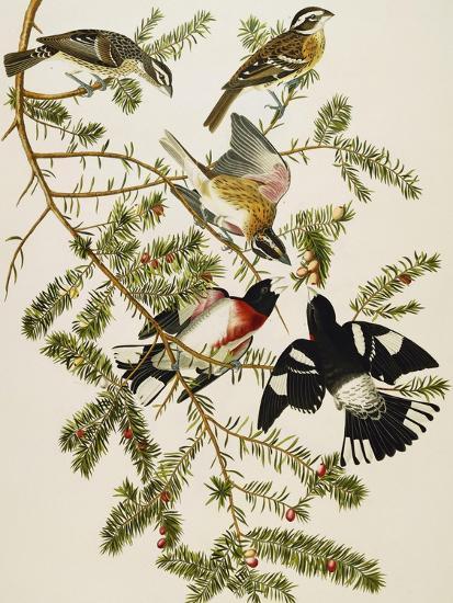 Rose-Breasted Grosbeak (Pheuticus Ludovicianus), Plate Cxxvii, from 'The Birds of America'-John James Audubon-Premier Image Canvas