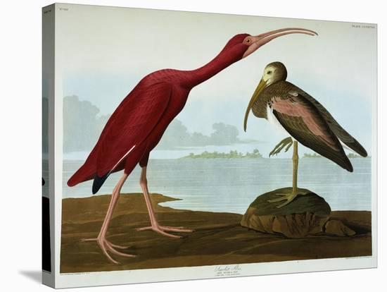 Scarlet Ibis-John James Audubon-Premier Image Canvas