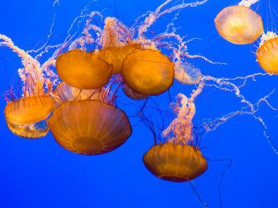 Sea Nettles, Monterey Bay Aquarium Display, Monterey, California, USA-Stuart Westmoreland-Stretched Canvas Print