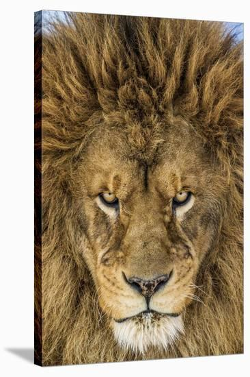 Serious Lion-Mike Centioli-Stretched Canvas Print