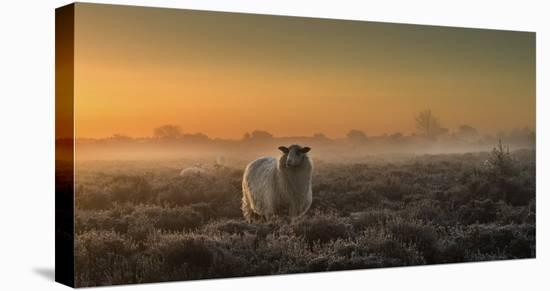 Sheep In The Mist-Rijko Ebens-Stretched Canvas Print