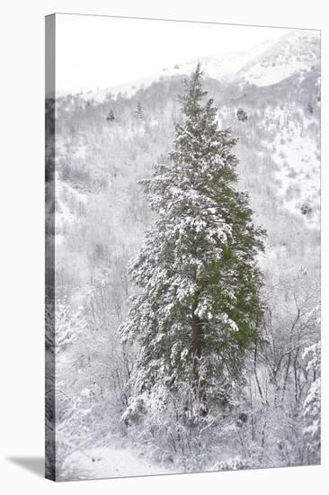 Snow Conifer-Chris Dunker-Stretched Canvas Print