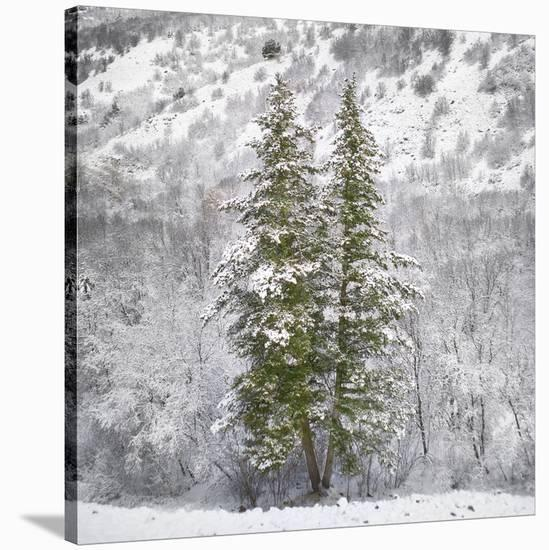 Snow Trees-Chris Dunker-Stretched Canvas Print