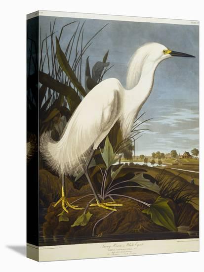 Snowy Heron or White Egret / Snowy Egret-John James Audubon-Stretched Canvas Print