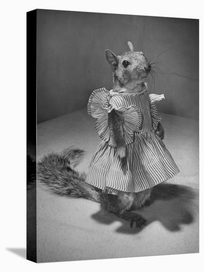 Squirrel Wearing a Baby Doll's Dress-Nina Leen-Stretched Canvas Print