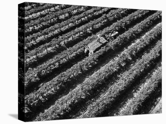 Subject: Aerial of Grape Harvest Workers. Fresno, California-Margaret Bourke-White-Stretched Canvas Print