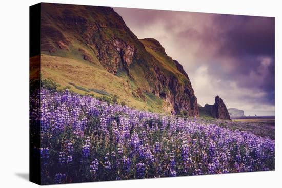 Summer Bloom In Vik Southern Iceland Beach Shoreline-Vincent James-Stretched Canvas Print