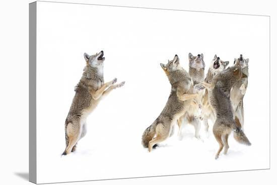 The Choir Coyotes-Jim Cumming-Stretched Canvas Print