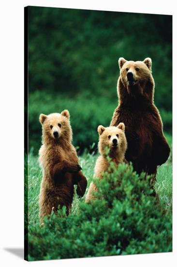 Three Bears--Stretched Canvas Print