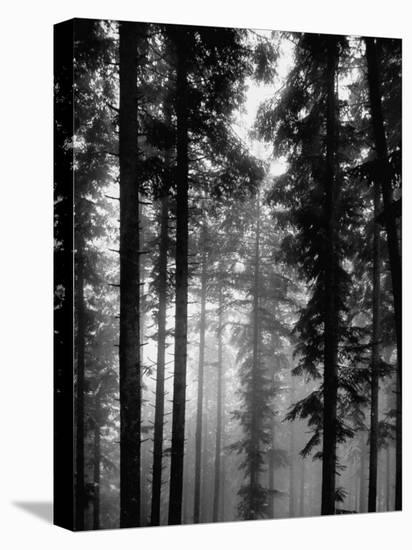 Trees in the Black Forest-Dmitri Kessel-Stretched Canvas Print