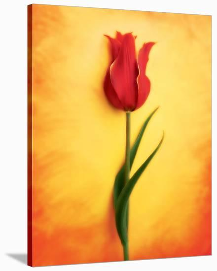 Tulip III-Christine Zalewski-Stretched Canvas Print