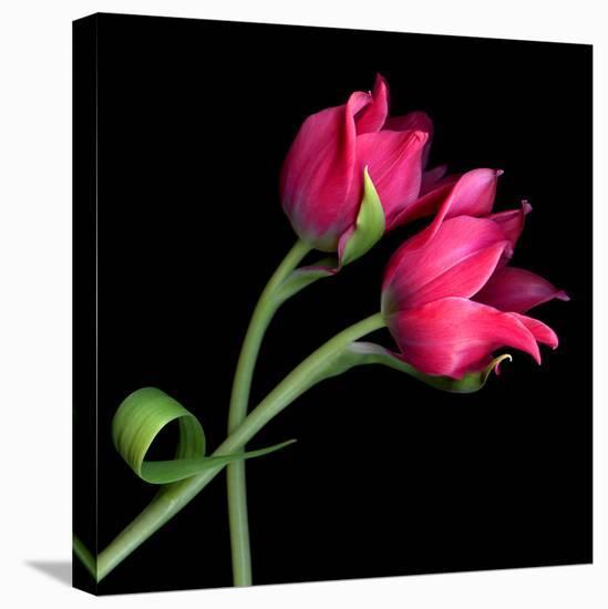 tulip-Magda Indigo-Stretched Canvas Print