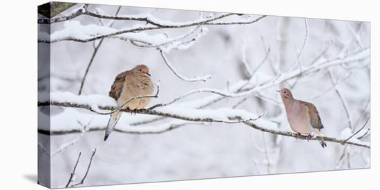Two mourning doves rest on a tree branch in snow.-Amy White-Stretched Canvas Print