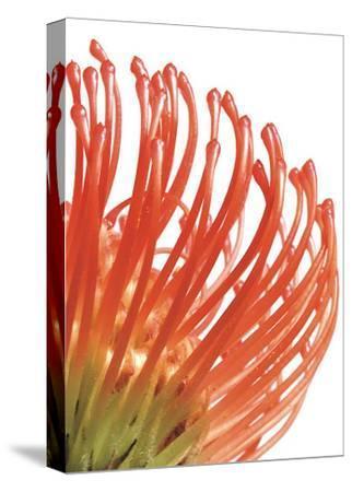 Orange Protea V-Jenny Kraft-Stretched Canvas Print