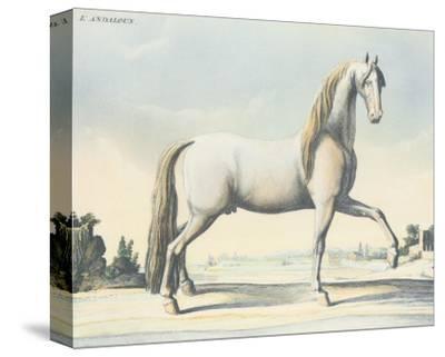 Horse L'Andaloux--Stretched Canvas Print