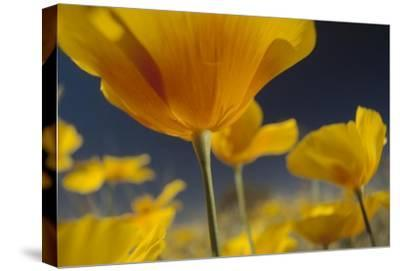 Mexican Golden Poppy detail, New Mexico-Tim Fitzharris-Stretched Canvas Print